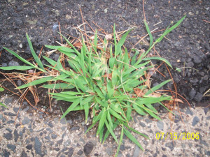 Fords pest of the month crabgrass