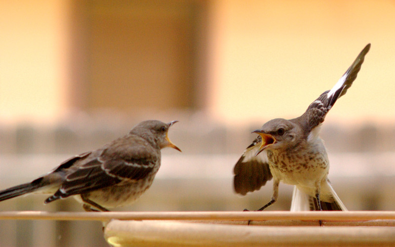 mocking bird argument